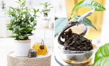 Trend: Enkelt, nyttigt och gott - odla eget te!