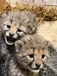 Nu var det åter dags att visa upp en ny kull gepardungar på Borås Djurpark.