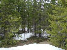 Osäkert om skogens tillväxt ökar i ett varmare klimat