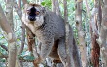 Selvmedicinerende lemurer afhjælper kløende bagdele med giftige tusindben