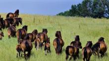 Verdens Skove: Naturforvaltere behøver ikke være skeptiske over for vilde heste