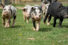Zinkoxidläkemedel till gris förbjuds