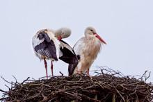 Storkarna hälsar våren med klapprande näbbar