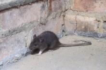 Giftfri sprej dödar bakterierna som råttor lämnar efter sig