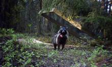Nu finns det mårdhundar i södra Sverige