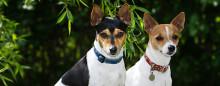 Tenterfield terrier – ny hundras i Sverige