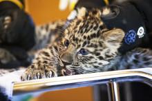 4,22 kilo amurleopardunge