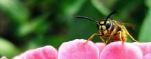 Hvepsesæsonen er på sit højeste - Sådan undgår du dem