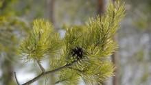 Nya EU regler gör att vi kan använda skogsbiodrivmedel