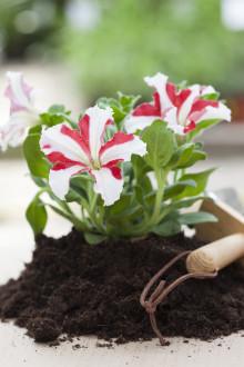 Tvåfärgade petunior ger extra glans till sommarens planteringar!
