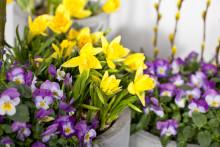Disse blomstene kan du plante ute allerede nå