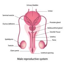 Kastrering av män byggde på kunskap om kvinnans kropp