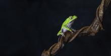 Aquaria öppnar ny utställning om hotade grodor