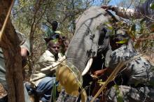 Elefanters förflyttningsmönster kartlagt