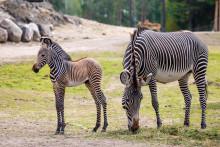 Nyfödd zebra på Kolmården