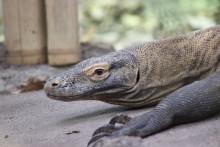 Utrotningshotad komodovaran till Parken Zoo