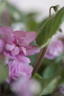 Rosa saintpaulia ger löfte om våren