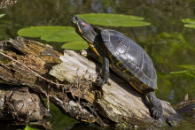 Vattensköldpaddor ska utrotas