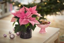 Den store oversikten: Slik steller du julens blomster