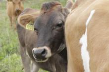 Arla Oy keskustelee maidontuottajiensa kanssa