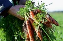 Mogens odlar morötter – och insekter