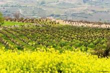 Viininviljelyä Kyproksella