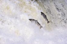 WWF: Bryt trenden, Eskil – stoppa överfisket på Östersjölaxen!