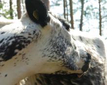 Europeiska boskapsrasers släktskap och genetiska mångfald har kartlagts