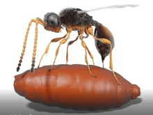 Första fossila parasiten funnen extremt välbevarad