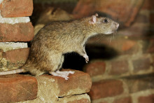 Rekordmange rotteskader