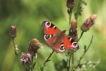 Center Parcs supports Big Butterfly Count