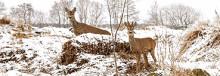 Klövviltet som naturvårdare