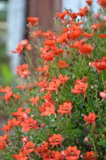 Sju sorters blommor till Midsommar