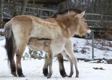 Parken Nordens Ark för utrotningshotade djur samordnar sina servicetjänster under ledning av Sodexo