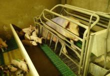 Stoppa det plågsamma grisförsöket nu!