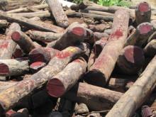 Hvem myrdede træet? DNA-analyse kan afsløre ulovligt hugget tømmer