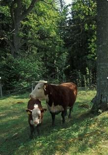 Naturbeteskött först i Sverige att utses till Exceptionell Råvara!