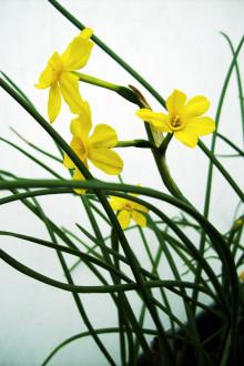Blomsterfestival till vårens ära