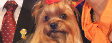 Yorkshireterrier blev Best in Show
