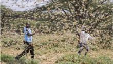 Gräshoppsinvasionen sprider sig i rasande takt