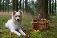 Hunden god hjälp i svampskogen