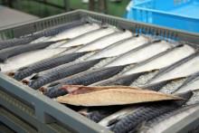 Sildefileter Foto Mikolaj Grynberg Norwegian Seafood Council