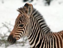 Nyfödda zebraföl i Borås Djurpark