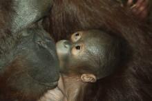 Ännu en orangutangfödsel i Borås Djurpark
