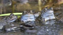 Vägbygge med grodor och salamandrar i fokus