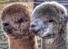 Superfast fibre makes world of difference to Cumbrian alpaca farm