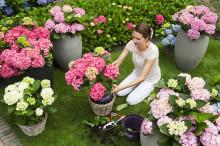 """Trädgårdshortensian Forever&Ever med """"evig blomning"""" klarar kalla vintrar på -25 grader"""