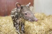Tapir född på Kolmården