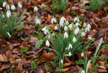 The Scottish Snowdrop Festival 2016: snowdrops take a star turn