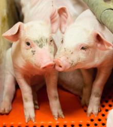 Eläinten hyvinvointi ykkösasia – Atria kannustaa tuottajia siirtymään vapaaporsitukseen
